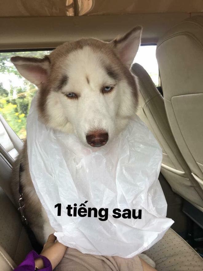 Theo chủ về quê ăn Tết, chú chó say xe tới mềm nhũn nhưng dân mạng lại bật cười vì 1 điều-3