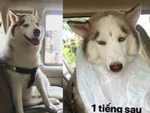 Theo chủ về quê ăn Tết, chú chó say xe tới mềm nhũn nhưng dân mạng lại bật cười vì 1 điều