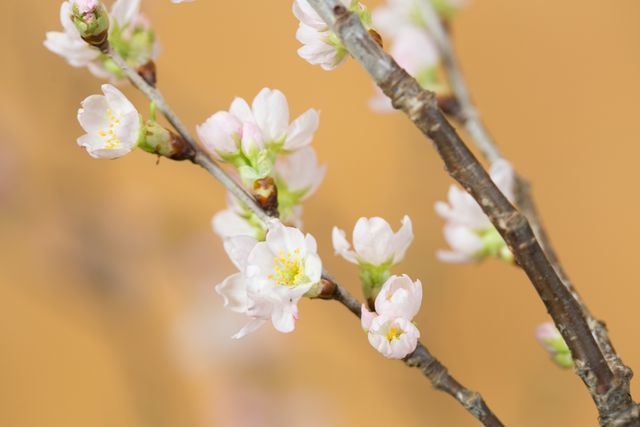 Anh đào Sakura trái vụ siêu hiếm xuất hiện dịp Tết Hà Nội-4