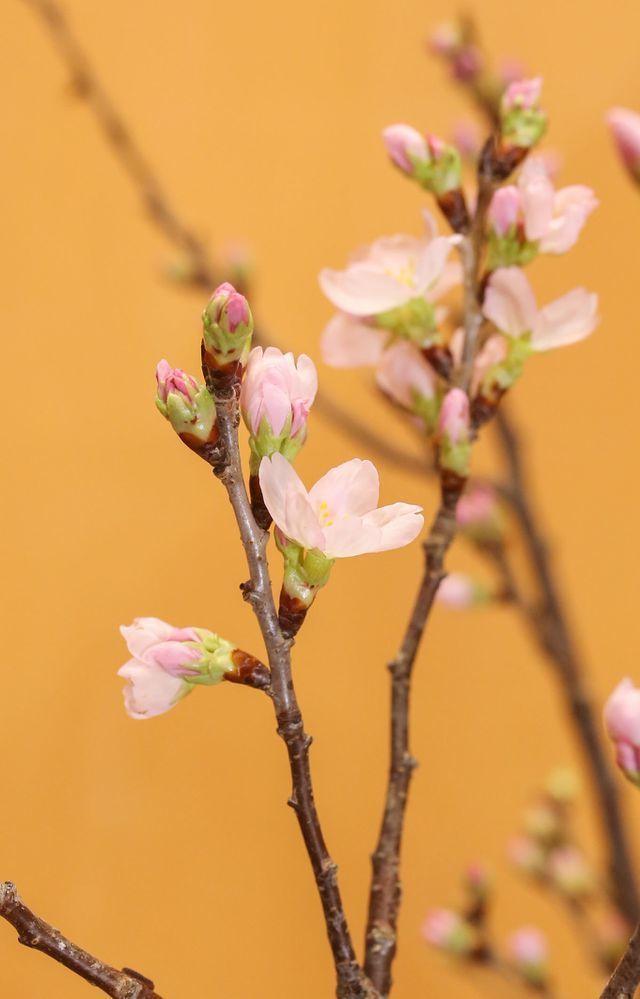 Anh đào Sakura trái vụ siêu hiếm xuất hiện dịp Tết Hà Nội-5