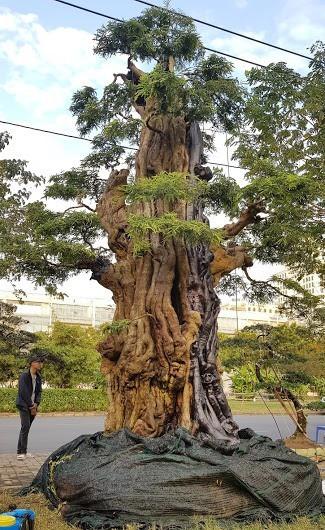 Cây me 2 tỷ đồng, cây xoài 500 triệu tại chợ hoa Sài Gòn-1