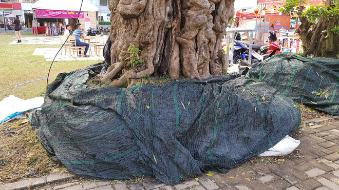 Cây me 2 tỷ đồng, cây xoài 500 triệu tại chợ hoa Sài Gòn-2