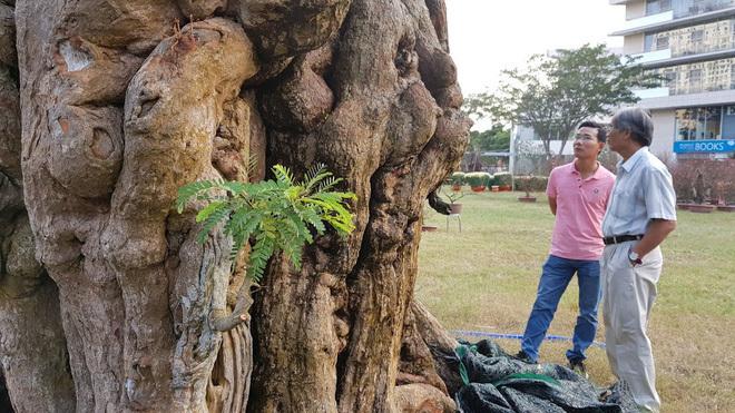Cây me 2 tỷ đồng, cây xoài 500 triệu tại chợ hoa Sài Gòn-4