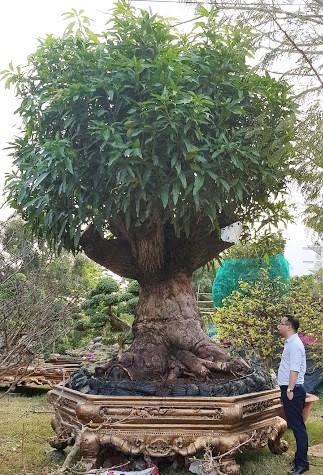 Cây me 2 tỷ đồng, cây xoài 500 triệu tại chợ hoa Sài Gòn-5