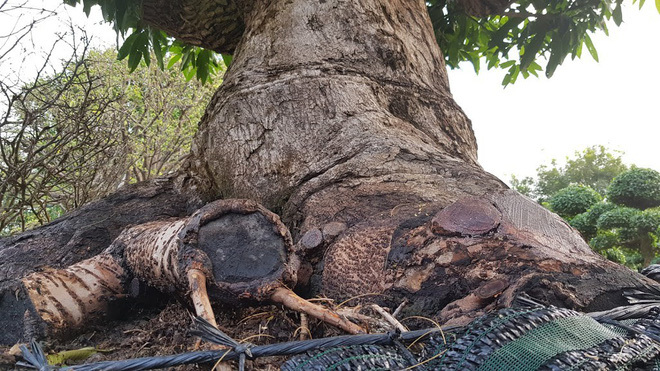 Cây me 2 tỷ đồng, cây xoài 500 triệu tại chợ hoa Sài Gòn-6
