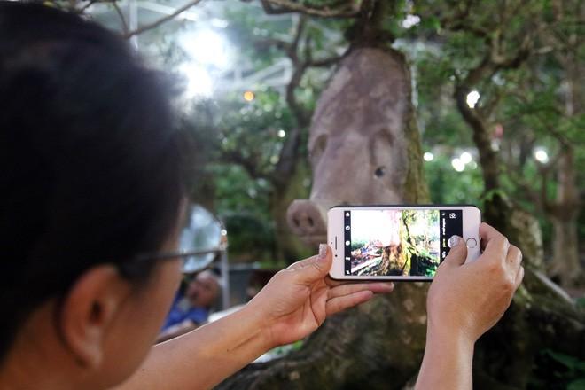 Cận cảnh cây khế đầu heo có giá nửa tỷ đồng được bày bán thu hút người dân Sài Gòn-16