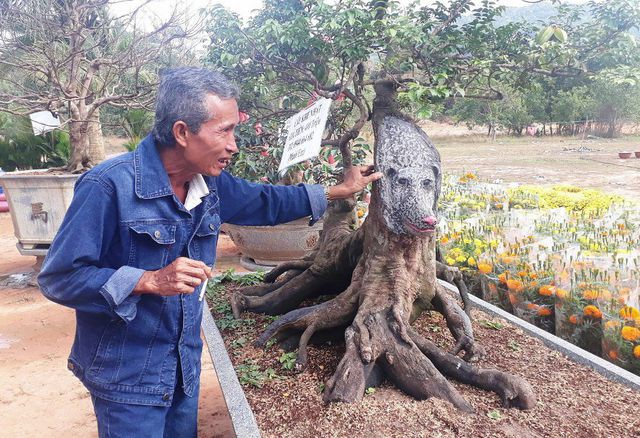 Cận cảnh cây khế đầu heo có giá nửa tỷ đồng được bày bán thu hút người dân Sài Gòn-3