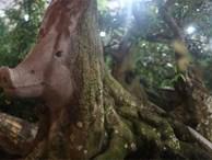 Cận cảnh cây khế hình 'đầu heo' được rao bán giá nửa tỷ đồng ở Sài Gòn