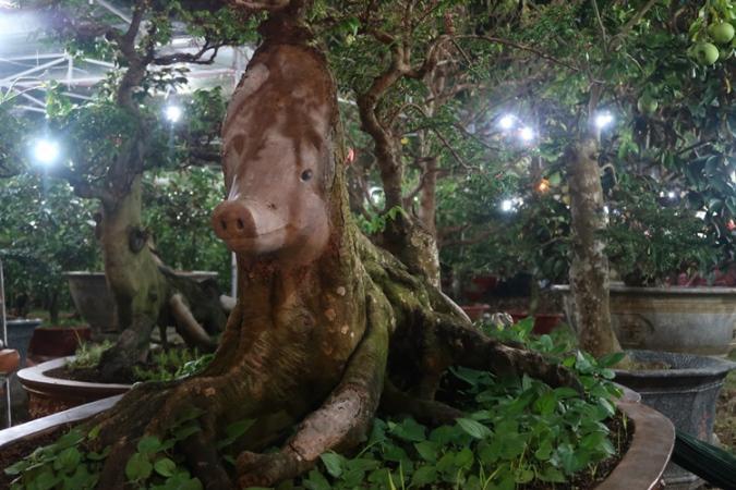 Cận cảnh cây khế hình đầu heo được rao bán giá nửa tỷ đồng ở Sài Gòn-1