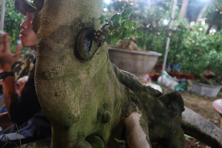 Cận cảnh cây khế hình đầu heo được rao bán giá nửa tỷ đồng ở Sài Gòn-9