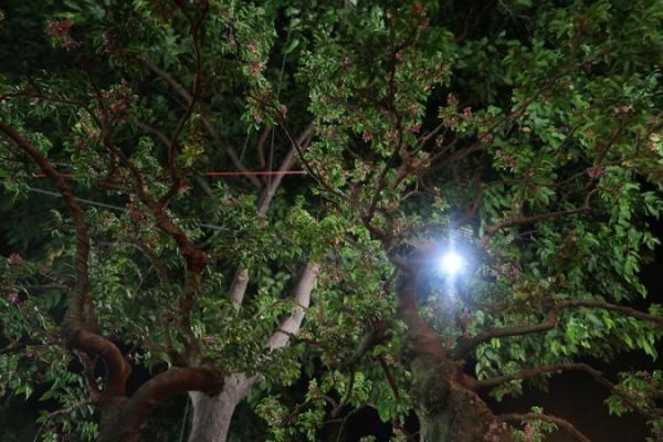 Cận cảnh cây khế hình đầu heo được rao bán giá nửa tỷ đồng ở Sài Gòn-8