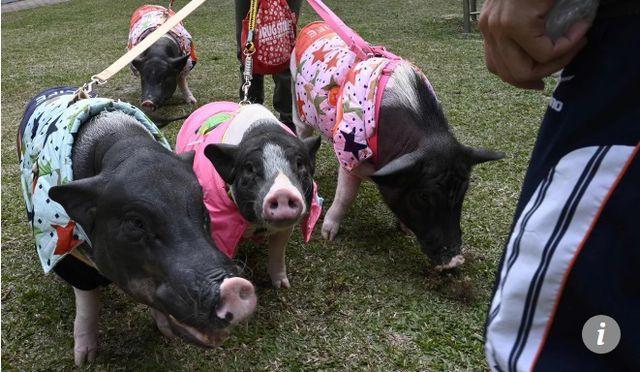 Kỳ lạ người phụ nữ độc thân bằng lòng hy sinh mọi thứ để nuôi 4 chú lợn, cho ở phòng ngủ lớn-3