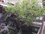 Hai cây sanh khủng của doanh nhân bí ẩn ở Hà Nội-14