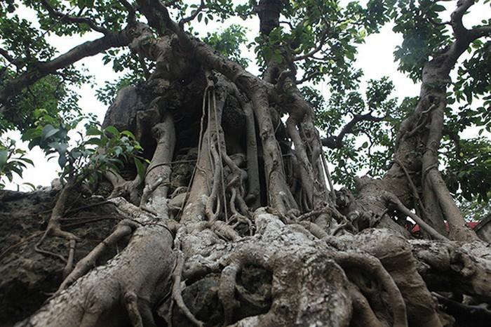 Hai cây sanh khủng của doanh nhân bí ẩn ở Hà Nội-6