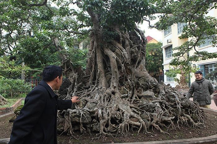 Hai cây sanh khủng của doanh nhân bí ẩn ở Hà Nội-7
