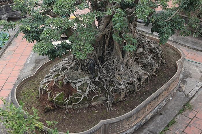 Hai cây sanh khủng của doanh nhân bí ẩn ở Hà Nội-9
