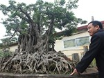 Xôn xao Nam Định: Cây sanh cổ bán kèm cổng nhà giá 6.000 USD?-7