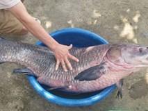 Bắt được cá trắm 'khủng' nặng 33kg, dài gần 1m hiếm có
