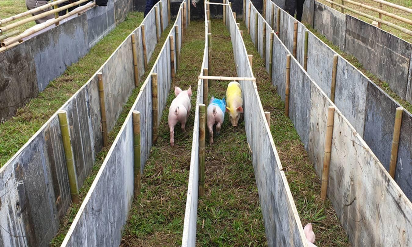 Cười vỡ bụng với màn đua lợn có 1-0-2 tại Ba Vì-3