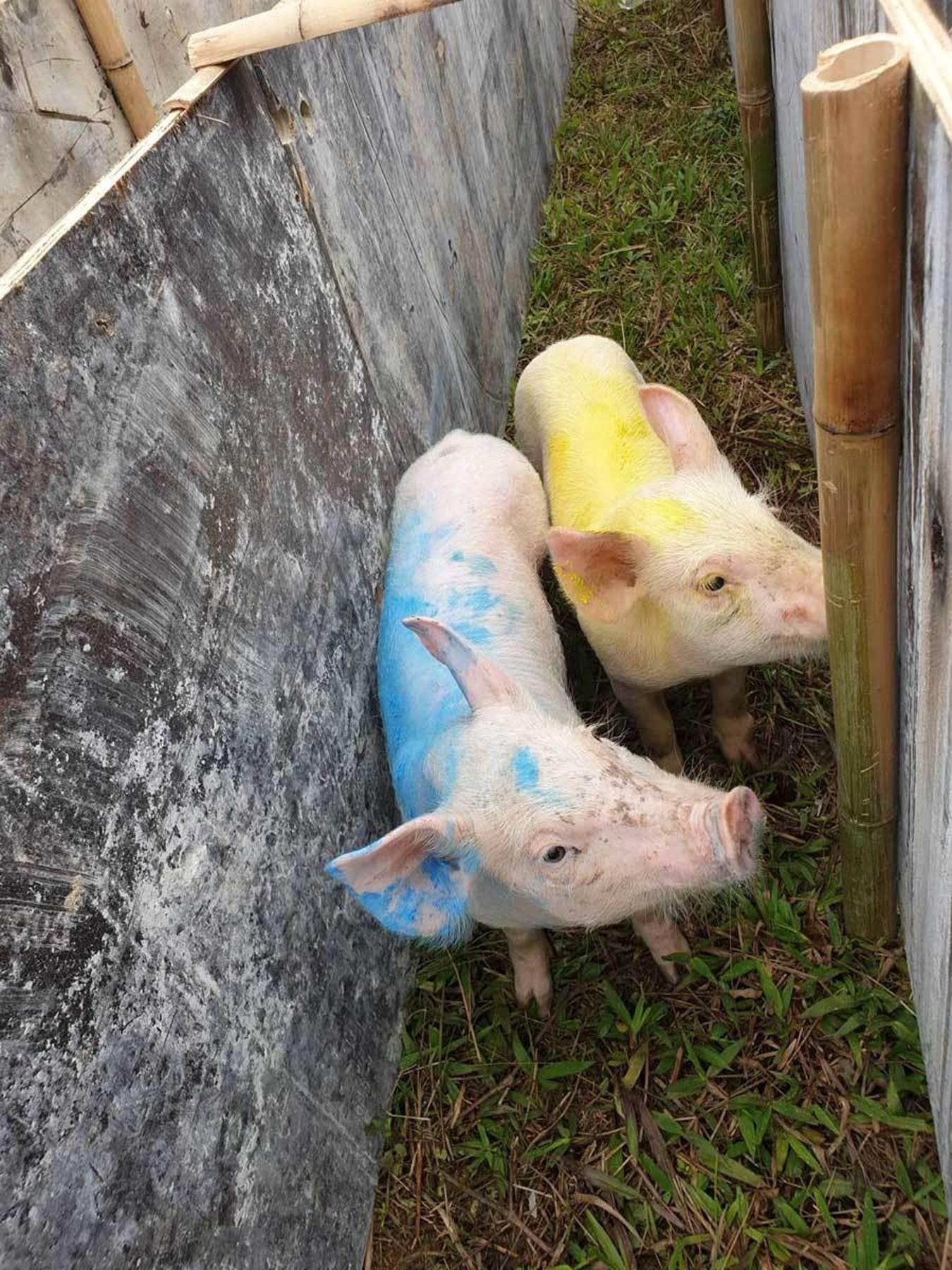 Cười vỡ bụng với màn đua lợn có 1-0-2 tại Ba Vì-4