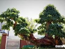 Đại gia phố núi sở hữu cây trắc cổ thụ trăm tuổi trị giá hàng tỷ đồng