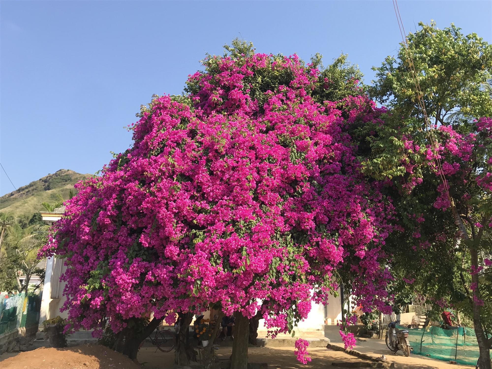 Cây hoa giấy khủng đỏ rực giữa đảo Lý Sơn, du khách ngất ngây-1