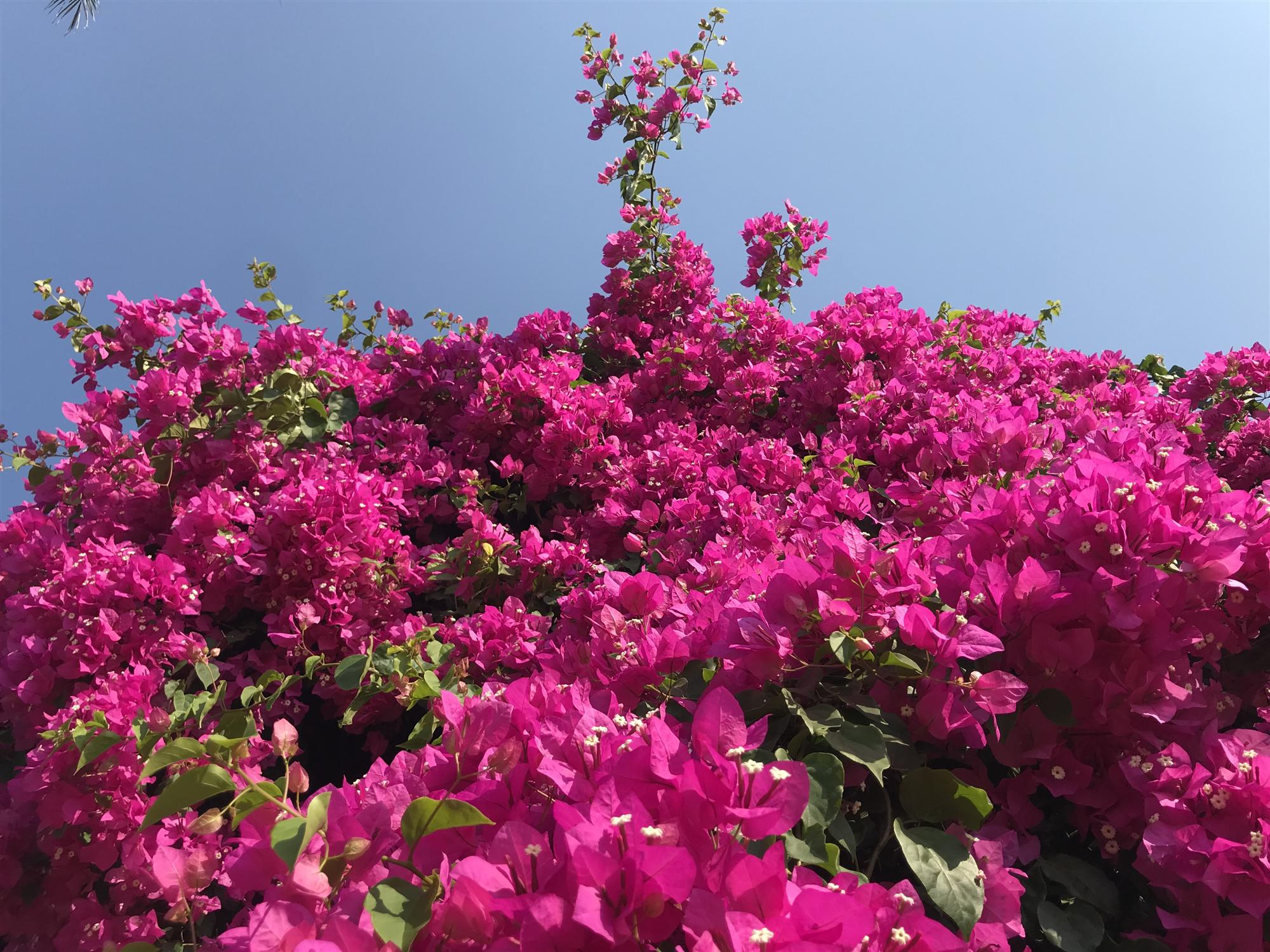 Cây hoa giấy khủng đỏ rực giữa đảo Lý Sơn, du khách ngất ngây-2