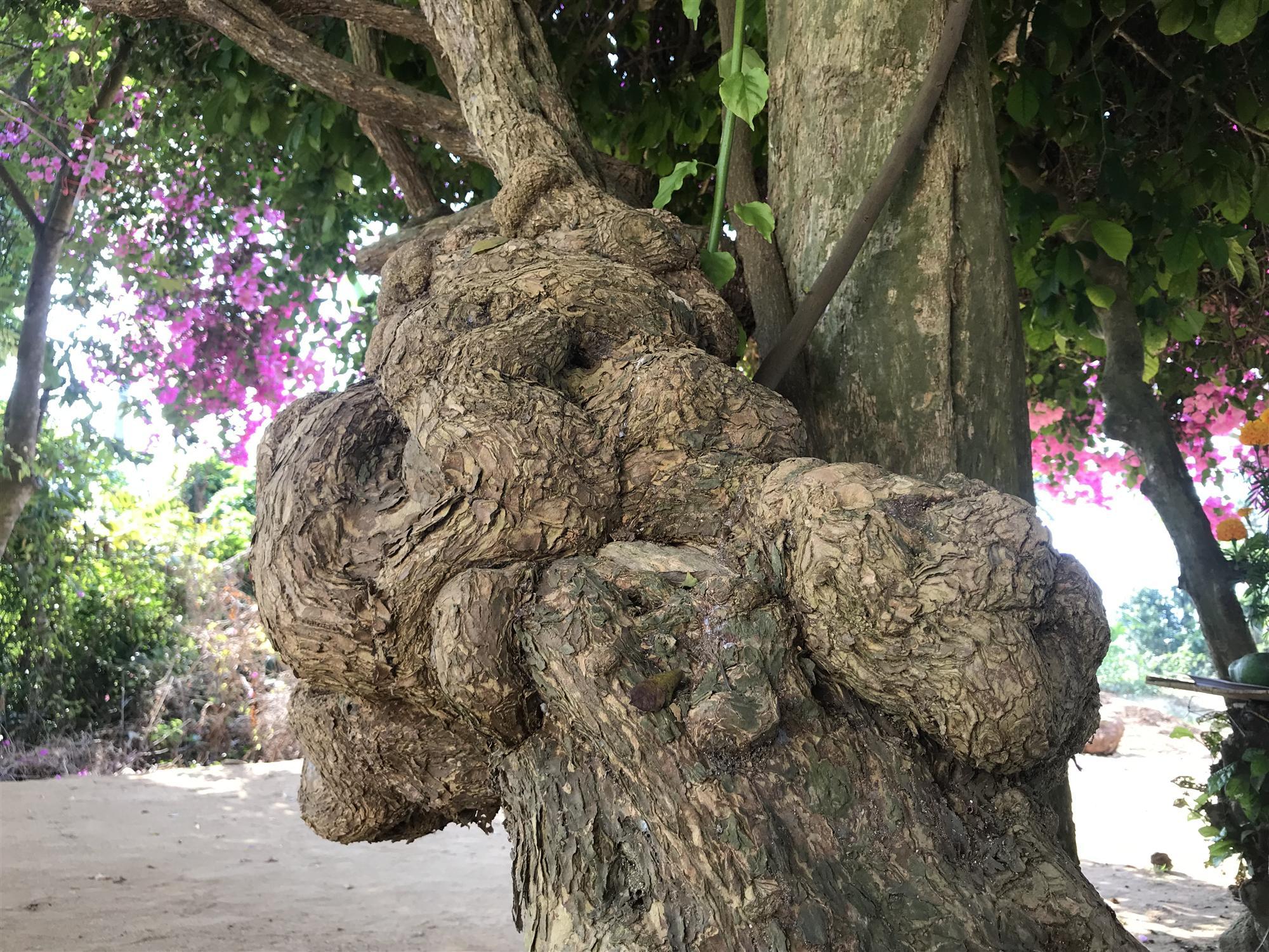 Cây hoa giấy khủng đỏ rực giữa đảo Lý Sơn, du khách ngất ngây-3