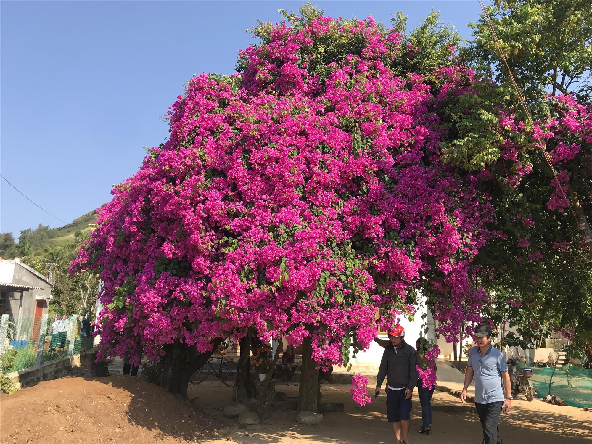 Cây hoa giấy khủng đỏ rực giữa đảo Lý Sơn, du khách ngất ngây-4