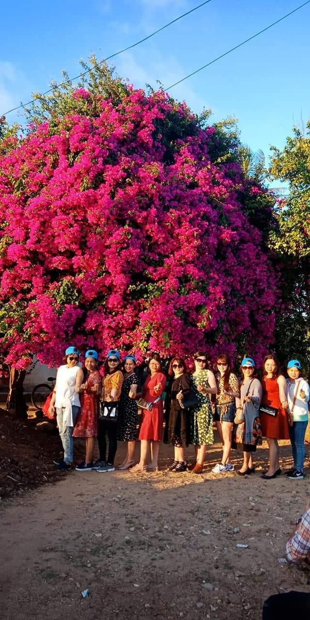 Cây hoa giấy khủng đỏ rực giữa đảo Lý Sơn, du khách ngất ngây-5