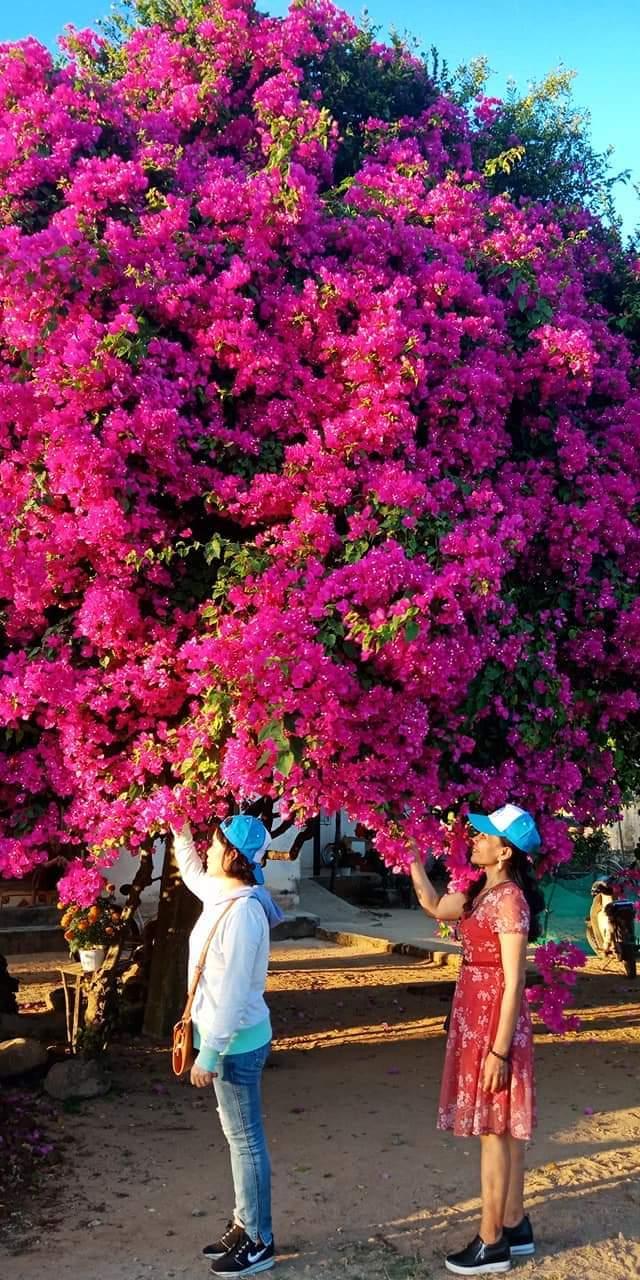 Cây hoa giấy khủng đỏ rực giữa đảo Lý Sơn, du khách ngất ngây-6
