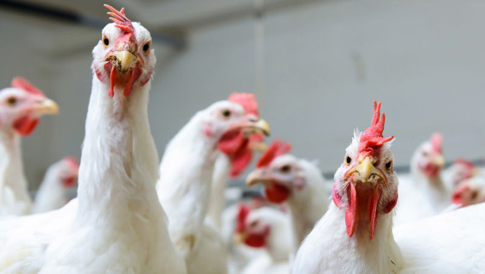 Điều bí ẩn 50 năm qua: Nguyên nhân loài gà to lớn gấp 4 lần-1