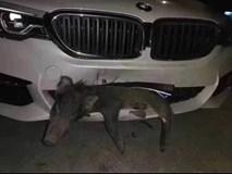 Xe BMW tiền tỷ bị vỡ đầu sau khi đâm phải chú lợn sữa chạy qua đường