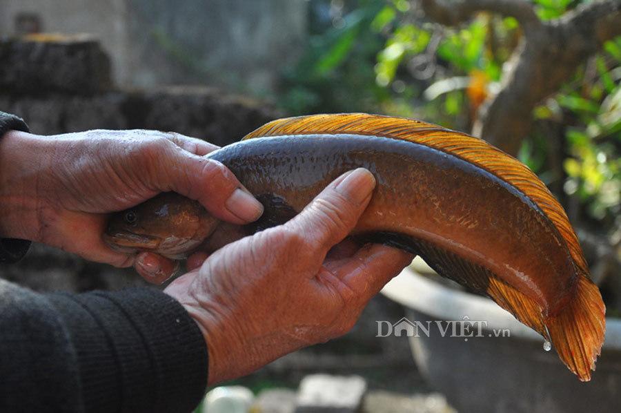 Cá cửng: Đặc sản chỉ dành cho vua, siêu quý hiếm ở đất Ninh Bình-1