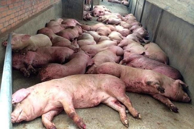 Dịch tả lợn châu Phi bùng phát ở Việt Nam: Tuy không lây bệnh trực tiếp ở người nhưng vẫn gián tiếp gây bệnh theo cách này-1