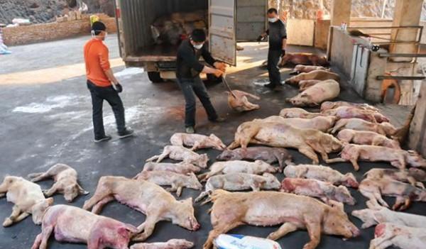 Dịch tả lợn châu Phi bùng phát ở Việt Nam: Tuy không lây bệnh trực tiếp ở người nhưng vẫn gián tiếp gây bệnh theo cách này-2