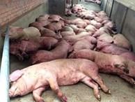 Dịch tả lợn châu Phi bùng phát ở Việt Nam: Tuy không lây bệnh trực tiếp ở người nhưng vẫn gián tiếp gây bệnh theo cách này