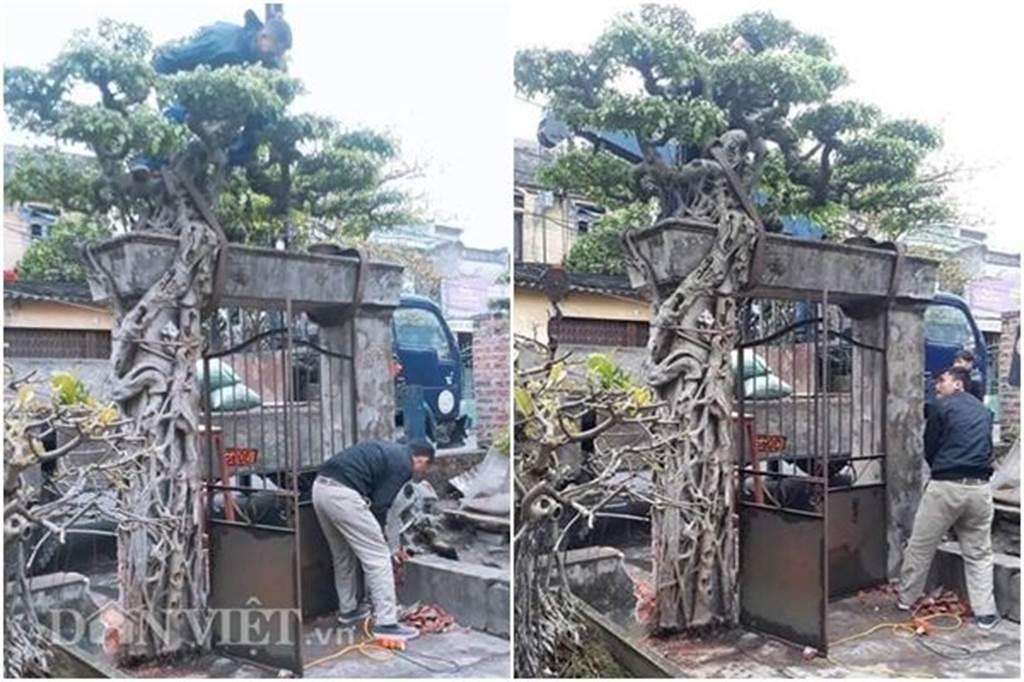 Xôn xao Nam Định: Cây sanh cổ bán kèm cổng nhà giá 6.000 USD?-1