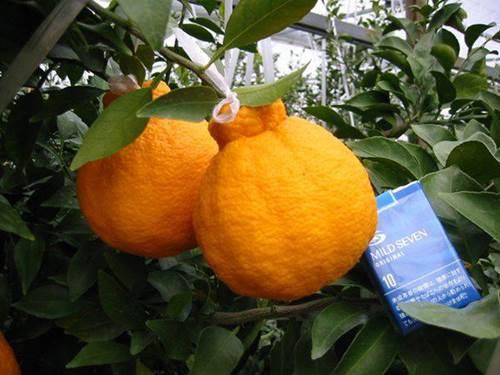 Choáng với 10 loại trái cây đắt nhất thế giới, 1 quả chuối có giá hơn 200 triệu đồng-5