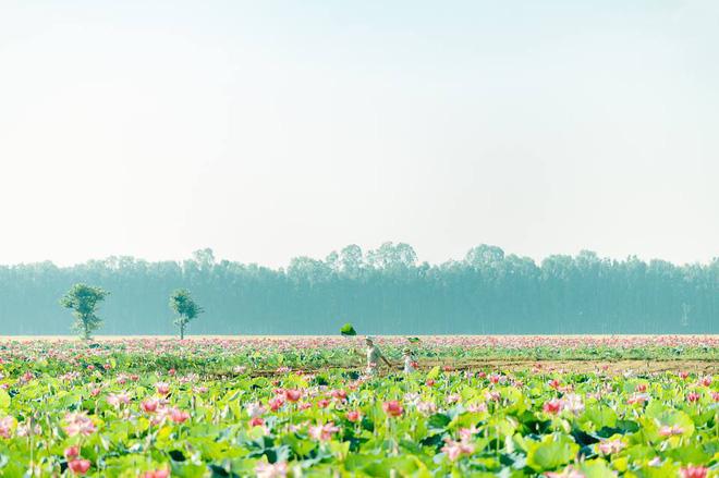Đã lùng ra địa chỉ cánh đồng sen rộng bát ngát tại An Giang: Thiên đường sống ảo là đây chứ đâu nữa!-4