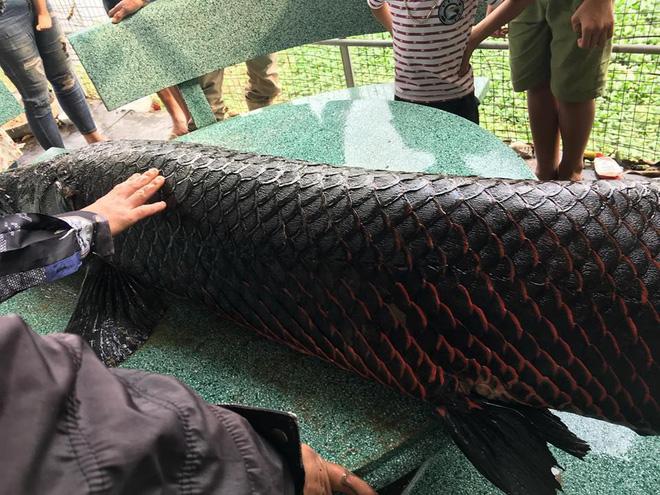 Sự thật thông tin người dân Hà Nội bắt được cá khủng hơn 1 tạ trên sông Nhuệ-2