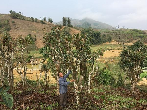 Kho báu chè Shan tuyết cổ thụ 70 tuổi nơi vùng cao bản Suối Lìn-1