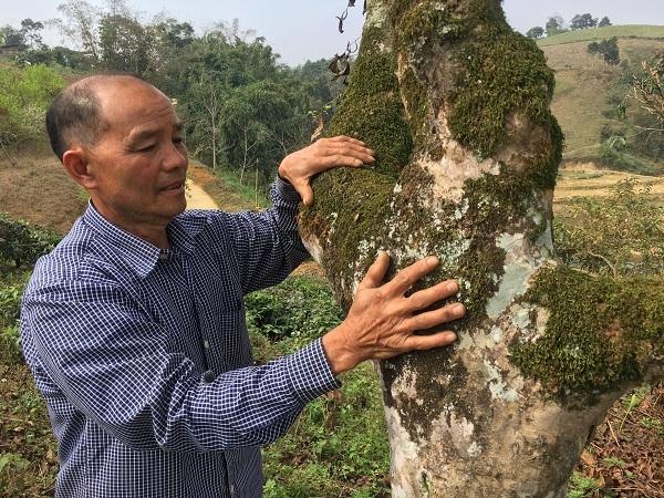Kho báu chè Shan tuyết cổ thụ 70 tuổi nơi vùng cao bản Suối Lìn-2