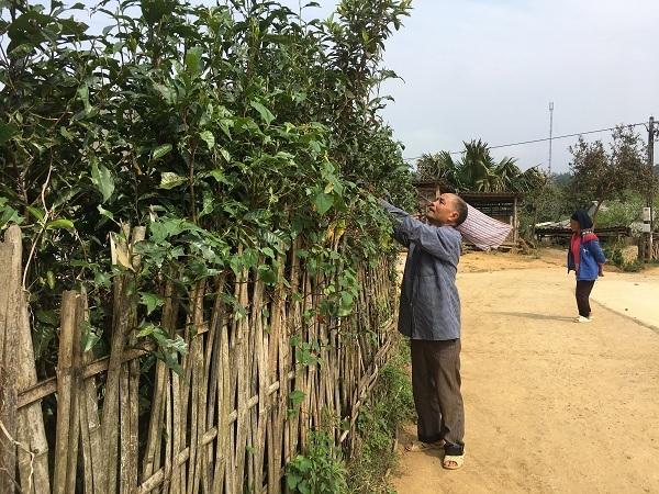 Kho báu chè Shan tuyết cổ thụ 70 tuổi nơi vùng cao bản Suối Lìn-4