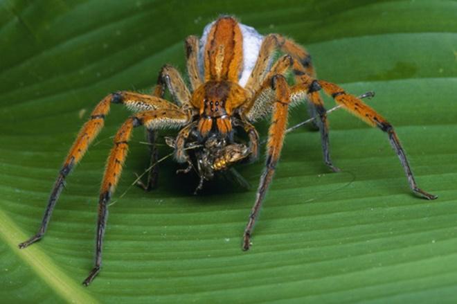 Chữa bản lĩnh đàn ông bằng… nhện độc-2