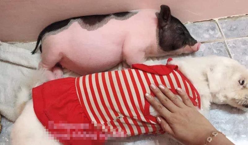 Boss lợn Trung Quốc 1,5 triệu/kg: Cô sen Hà thành xịt nước hoa, dắt dạo phố-3