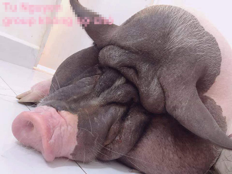 Boss lợn Trung Quốc 1,5 triệu/kg: Cô sen Hà thành xịt nước hoa, dắt dạo phố-5