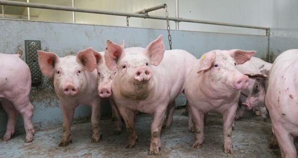 Chọn thịt lợn sạch theo hướng dẫn của chuyên gia trước tình hình dịch tả lợn châu Phi bùng phát-1
