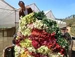 Rời Thủ đô lên phố núi trồng hoa hồng, chàng trai rinh gần 1 tỷ mỗi năm-6