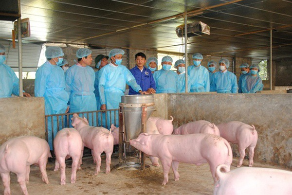 Thịt lợn nhiễm dịch tả châu Phi, người dân có nên tạm tẩy chay thịt lợn?-1